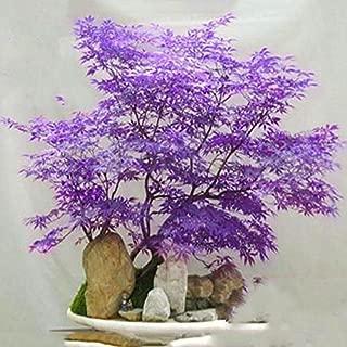 20pcs purple Japanese Maple Tree Bonsai Seeds Acer Palmatum Atropurpureum