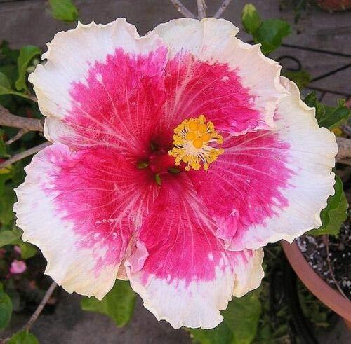 10 Rare Blanc Rose Hibiscus Graines Dîner géant Plaque Fleur exotique Hardy Tropica