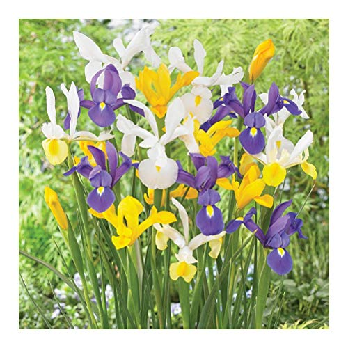 25 x Dutch Iris Bulbs- A Traditional Variety- Great Cut Flowers- Welcome Spring- for a Beautiful Garden