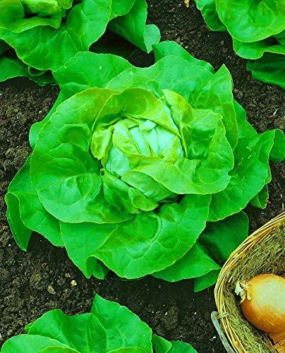 SANHOC Regina Selvaggio di Verdure di Semi di Insalata di lattuga Maggio Organic Heirloom Russa Ucraina