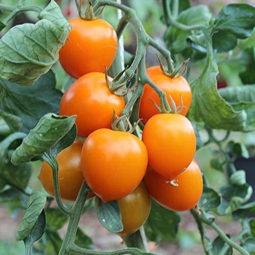Figiel Tomatensamen für ca. 20 Pflanzen - süße Früchte, hoher Ertrag