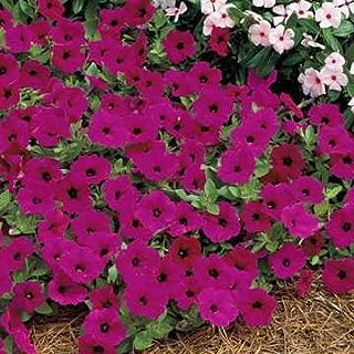 Park Seed Tidal Wave Purple Hybrid Petunia Seeds