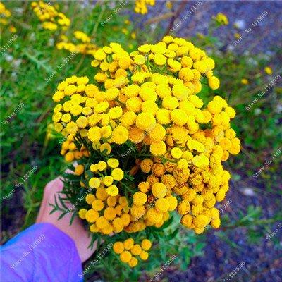 Promotion! 100 Pcs Tansy semences 2 types Couleurs Graines de fleurs de haute qualité Bonsai vivace Blooming Plantes Fleurs jaunes en vente 1