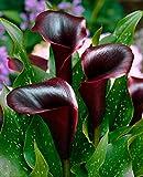 BULBOS DE FLORES para una floración de primavera/verano/otoño (1, Cala NEGRA - Zantedeschia CANTOR)