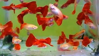 【熱帯魚・国産グッピー】 RREAフルレッド(ペア販売) ■サイズ:アダルト (2ペア)