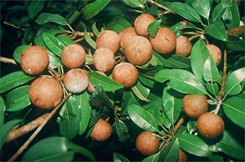 FERRY Bio-Saatgut Nicht nur Pflanzen: 50 Stück: Hybrid Süße Pouteria EDA Chikoo Fruchtsamen