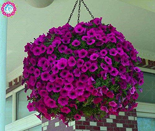 100 pcs/sac à double pétales graines de pétunia graines de fleurs bonsaï fleurs court jardin hauteur des graines de pot de plante d'intérieur ou ourdoor 6