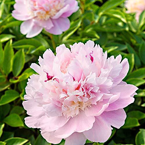 Chinesische Pfingstrose \'Eden\'s Perfume\' 2/3 - äugig - 1 Stück Blumenzwiebeln, Direkt von holländischem Boden