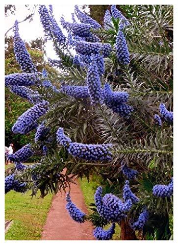 TROPICA - Blauer - Natternkopf (Echium fastuosa) - 100 Samen