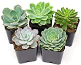 Succulent Plants | 5 Echeveria Succulents | Rooted in Succulent Planter Pots with Succulent Soil | Real Live Indoor Plants in Succulent Pots | House Plants Gifts or Room Decor by Aquatic Arts