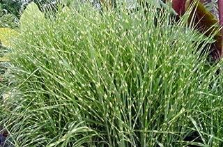 Zebrinus Zebra Maiden Miscanthus Sinensis Grass Seeds #GGR03