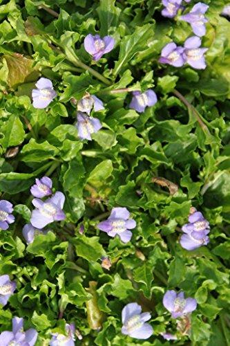 4er-Set im Gratis-Pflanzkorb - Mazus reptans - Himalaya Lippenmäulchen, blau - Wasserpflanzen Wolff