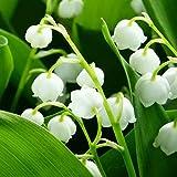 Hermosas flores cultivadas en casa,Bulbo de lirio de los valles,Flores pequeñas y delicadas,Plantar ahora,Planta decorativa mágica-5 Bulbos