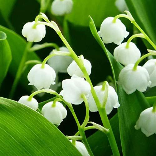 Hermosas flores cultivadas en casa,Bulbo de lirio de los valles,Flores pequeñas y...