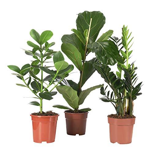 Sense of Home Zimmerpflanzenset Pflegeleicht - Geigenfeige Zamioculcas Clusia Princess - 3 Pflanzen zwischen 45 - 65cm - trendige & pflegeleichte Indoor-Pflanzen mit großen Blättern