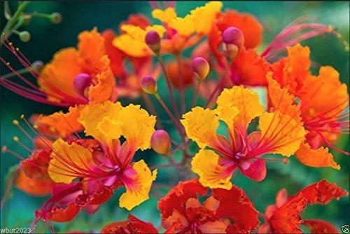 wbut2023 Stolz von Barbados, Pfau Blume, der Zwerg, Poinciana, Bird of Paradise 10Samen