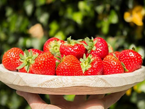 Erdbeerprofi - Erdbeere Sonsation - 20 Erdbeerpflanzen - Junitragend - Erdbeersetzlinge - Erdbeergrünpflanzen (Pflanzzeit: August - September)