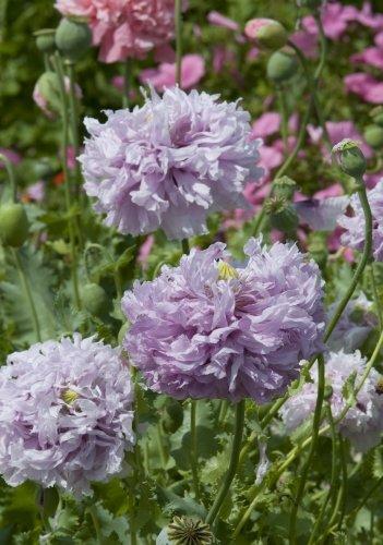 TROPICA - Lila Fransenmohn (Papaver Laciniatum - gefüllte Blüten) - 1200 Samen