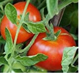 Sophie's Choice Tomato Seeds (50 Seeds)