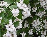 Deutzie, Gefüllter Sternchenstrauch, Maiblumenstrauch 'Pride of Rochester' - starke Pflanze im 5L Topf