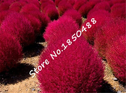 Semences de l'herbe Herbe Buisson Ardent Kochia Scoparia Seeds Red Garden ornemental de vivaces poussent facilement bonsaï pour le jardin