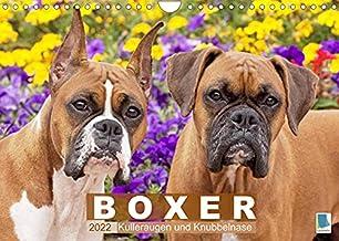 Boxer: Kulleraugen und Knubbelnase (Wandkalender 2022 DIN A4 quer): Charakterstarke Vierbeiner: Boxer (Monatskalender, 14 Seiten ) (CALVENDO Tiere)