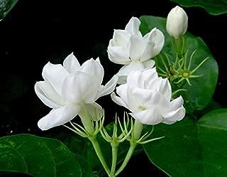 indian jasmine flowers in california