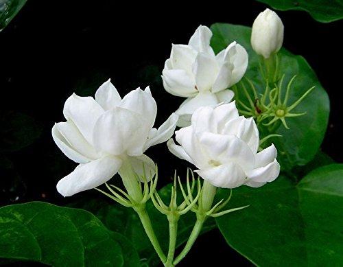 Jasmine Sambac Double Flower - 1 Feet Tall - Ship in 1 Gal Pot