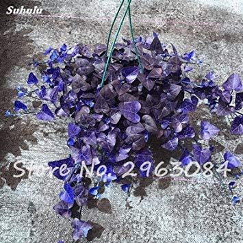 Multi color de la semilla perenne hoja de la hierba planta rastrera Hierba semilla vivero Interesante Bonsai Maceta Inicio decoración del jardín 100 P 4