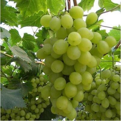 50 pcs/lot de raisin rouge doux Graines avancée Fruit graines croissance naturelle de raisin délicieux fruits de jardinage Plantes 3