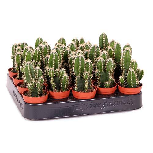 Mini Cactus Cereus Peruvianus Florida Planta Natural en Maceta de 5cm