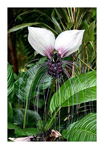 Tacca nivea - weiße Fledermausblume - 5 Samen
