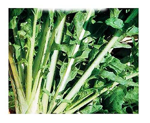Graines d'endives escarole cardoncella barese - légumes - cichorium endivia - in005 - les meilleures graines de plantes - fleurs - fruits rares - endives - 4000 graines environ - excellente qualité