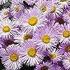 ASTONISH Pacchetto semi: 10000 Seeds - Erigeron Rosa Jewel Seeds #1