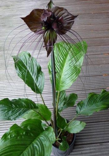 TROPICA - Fledermausblume (Tacca chanterii) - 10 Samen
