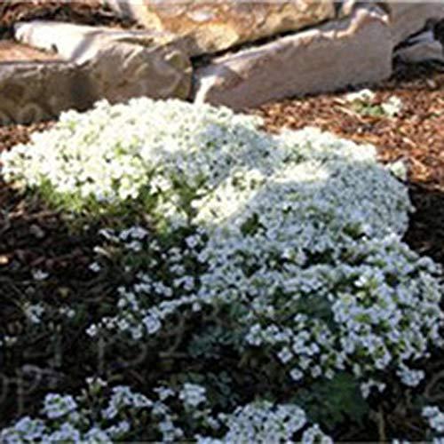 ADOLENB Garten Samen - 100 stücke Creeping Thymian Blumensamen Bodendeckende Saatgut Polsterstauden Blumensamen Sommer Blumen mehrjährig Winterhart für Garten und Haus