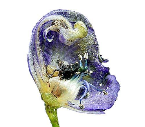 Echter Blauer Eisenhut (Aconitum napellus) 50 frische Samen