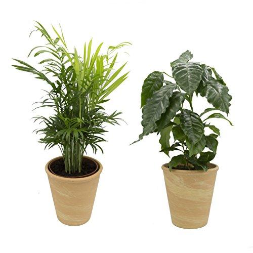 Dominik Blumen und Pflanzen, Indoor Duo - Kaffeepflanze und Zimmerpalme mit Dekotopf, terrakotta, 10,5 - 12 cm Topf, 20 - 30 cm hoch, Zimmerpflanzen, Kübelpflanzen