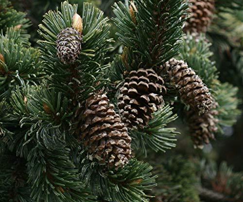 Grannen-Kiefer Pinus aristata Pflanze 5-10cm Grannenkiefer Fuchsschwanzkiefer