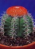 Tropica - Kakteen - Cubanischer Melonenkaktus - 40 Samen