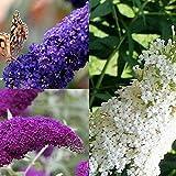 3 X Sommerflieder-Sortiment: 3-er set Schmetterlingsflieder, Duftend und Winterhard | Je eine Pflanze Buddleia davidii 'Empire Blue', Pink Delight' und 'White Profusion ' | 3 X 1,5 Liter Topf)