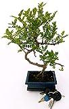 PIANTA DEL PEPE, ZANTHOXYLUM PIPERITUM BONSAI XL, pianta vera