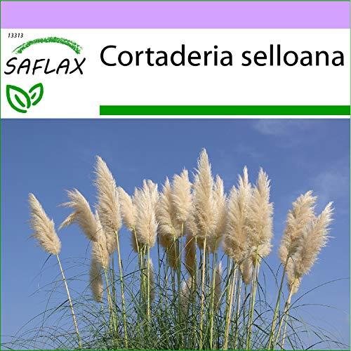 SAFLAX - Gräser-Bambus-Amerikanisches Pampasgras - 200 Samen - Cortaderia selloana
