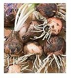 inception pro infinite semi muscari o pampascioni - leopoldia comosa - in confezione originale - prodotto in italia - c.ca
