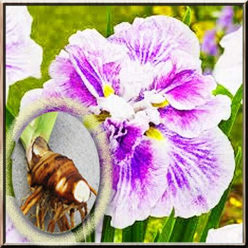 SmartMe Live Plant - 2 Iris Rhizome - Japanese Cheese Cake Iris Live Plant Large Rhizome