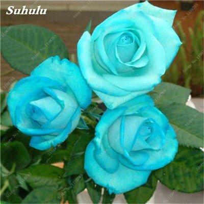 Mixed Seeds Rose, 200 Pcs Rare Bonsai Fleurs Rose, mélanger les couleurs Croissance naturelle Plante en pot pour le jardin Suppies Représentant Amour 3