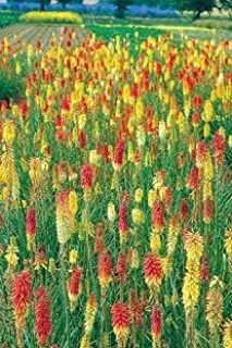 Kniphofia (Tritoma, Red Hot Poker) uvaria Pfitzer Hybrids 1,000 seeds