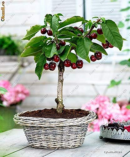 Portal Cool 10 Pcs/Sac Mini fruits cerise Graines bio Graines Bonsaï Cerisier Graines