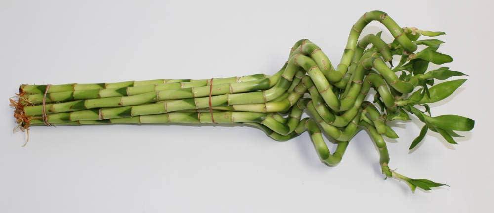 Athena's Garden B-CS06 Lucky Bamboo Corkscrew 爆買い新作 6-8 Spiral Shoots ブランド買うならブランドオフ
