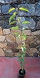 Pianta di ciliegie Albero ciliegio Amarena - Spedizione in 48h UPS